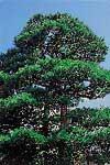 『村の木』の画像